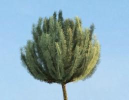 درخت Pinus_mugo