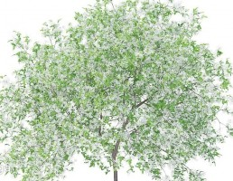 شکوفه درخت لیمو