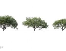 درخت Albizia Saman