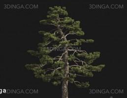 درخت Pinus thunbergii