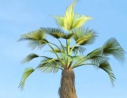 درخت Rachycaprus