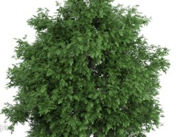 درخت اقاقیا