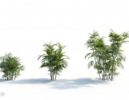 درختان نخل ساحلی