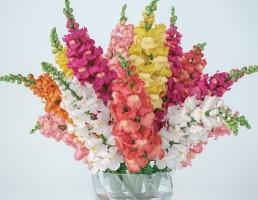 گلدان + گل گلادیاتوس