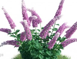گل سلوی