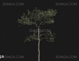 درخت Pinus elliottii