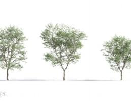 درختان جنگلی