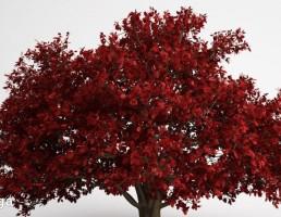 درخت با برگ قرمز