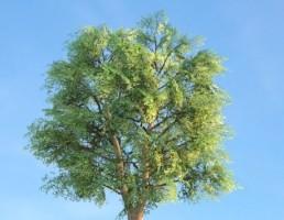 درخت Quercusgw