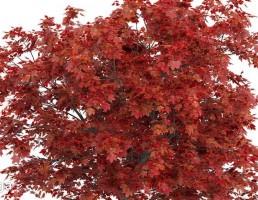 درخت افرای قرمز