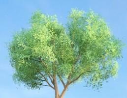 درخت Populus