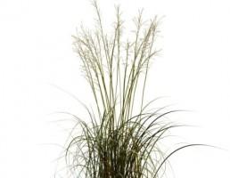 گیاه مولینیا