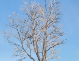 درخت Ulmus