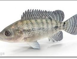 ماهی تیلا پیلا