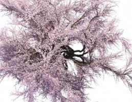 درخت ساکورا