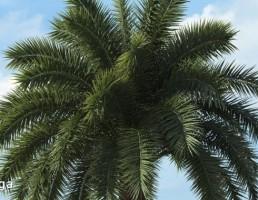 درخت نخل