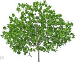 درخت گیلاس