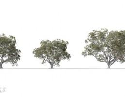 درخت Ficus Macrophylla