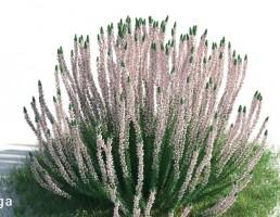 گیاه اسطوخودوس