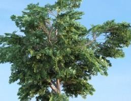 درخت Platanus