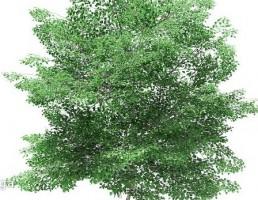 درخت لاله