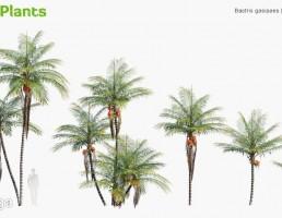 انواع درختان نخل