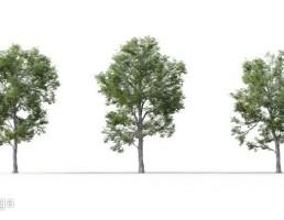 درخت Ulmus minor