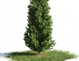 درخت کاج + چمن