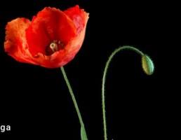 گلدان + گل شقایق