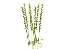 گیاه لولیوم