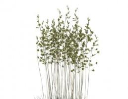 گیاه فستوكا