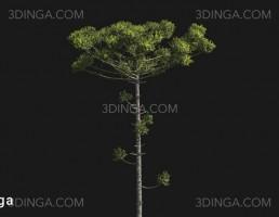 درخت Araucaria angustifolia