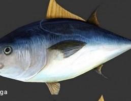 ماهی Atlantic tuna