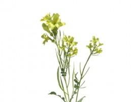 گیاه خردل متوسط