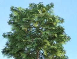 درخت Quercus
