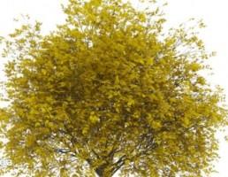 درخت با برگهای زرد