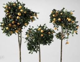 درختچه پرتغال