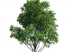 درخت Tilia
