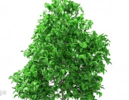 درخت گریپ فروت