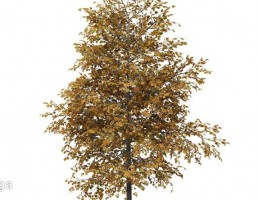 درخت پاییزی افرا