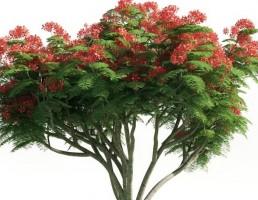 درخت Delonix regia