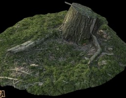 تنه درخت برید شده