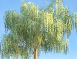 درخت Salix
