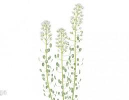 گیاه فلفل سیاه