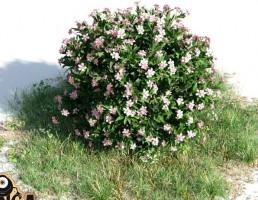 بوته Nerium oleander dwarf
