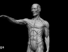 کاراکتر آناتومی بدن مرد