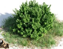 بوته Buxus sempervirens