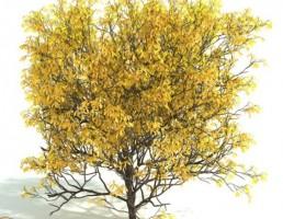 درخت پرچین