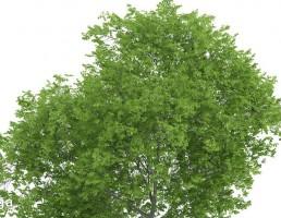 درخت کاتالپا