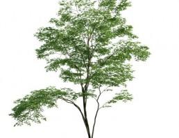 درخت جنگلی